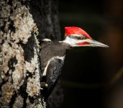 Pilated Woodpecker: Whose Invading My Territory? - Diane Hopp
