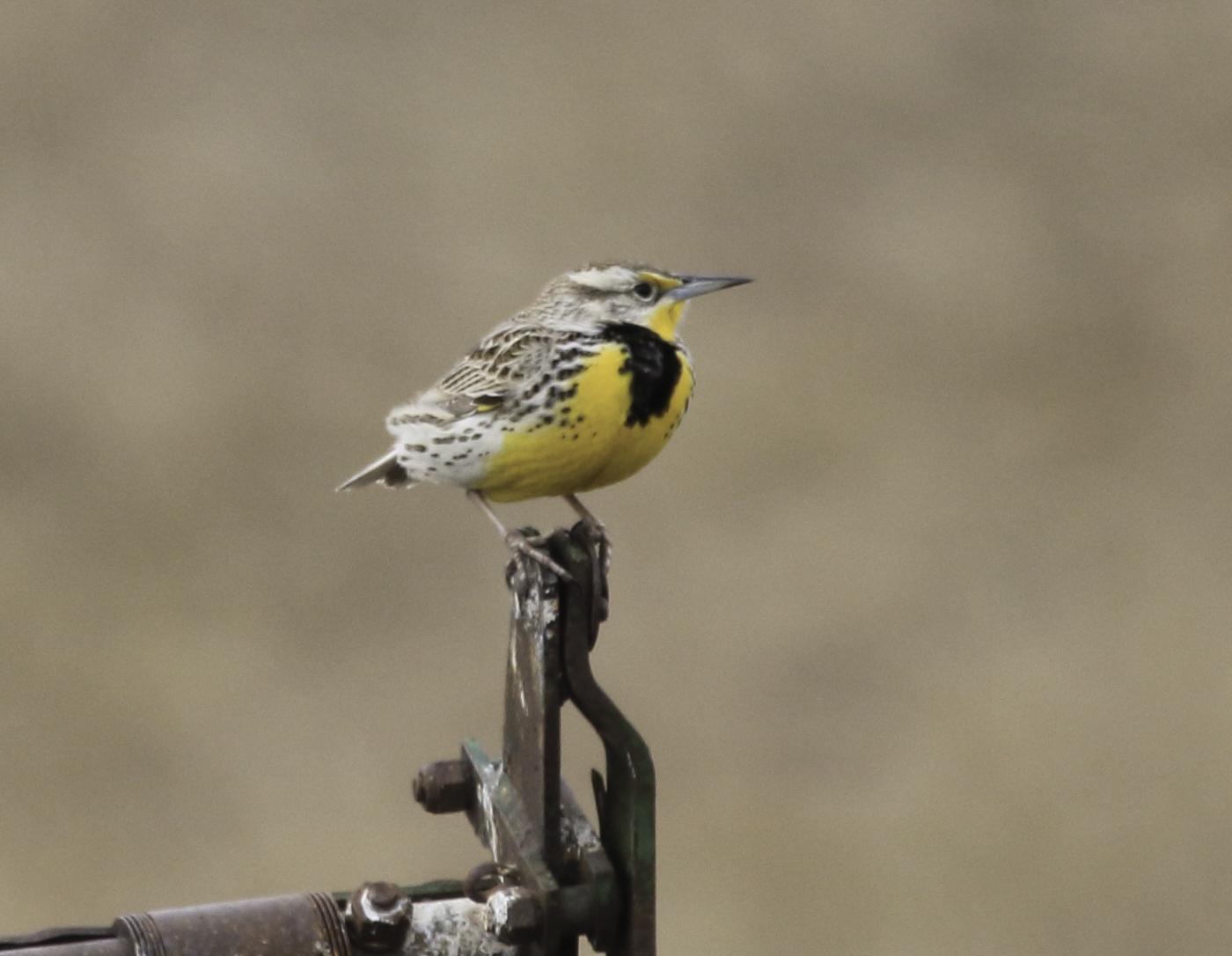 Western Meadowlark - Doug Boyce