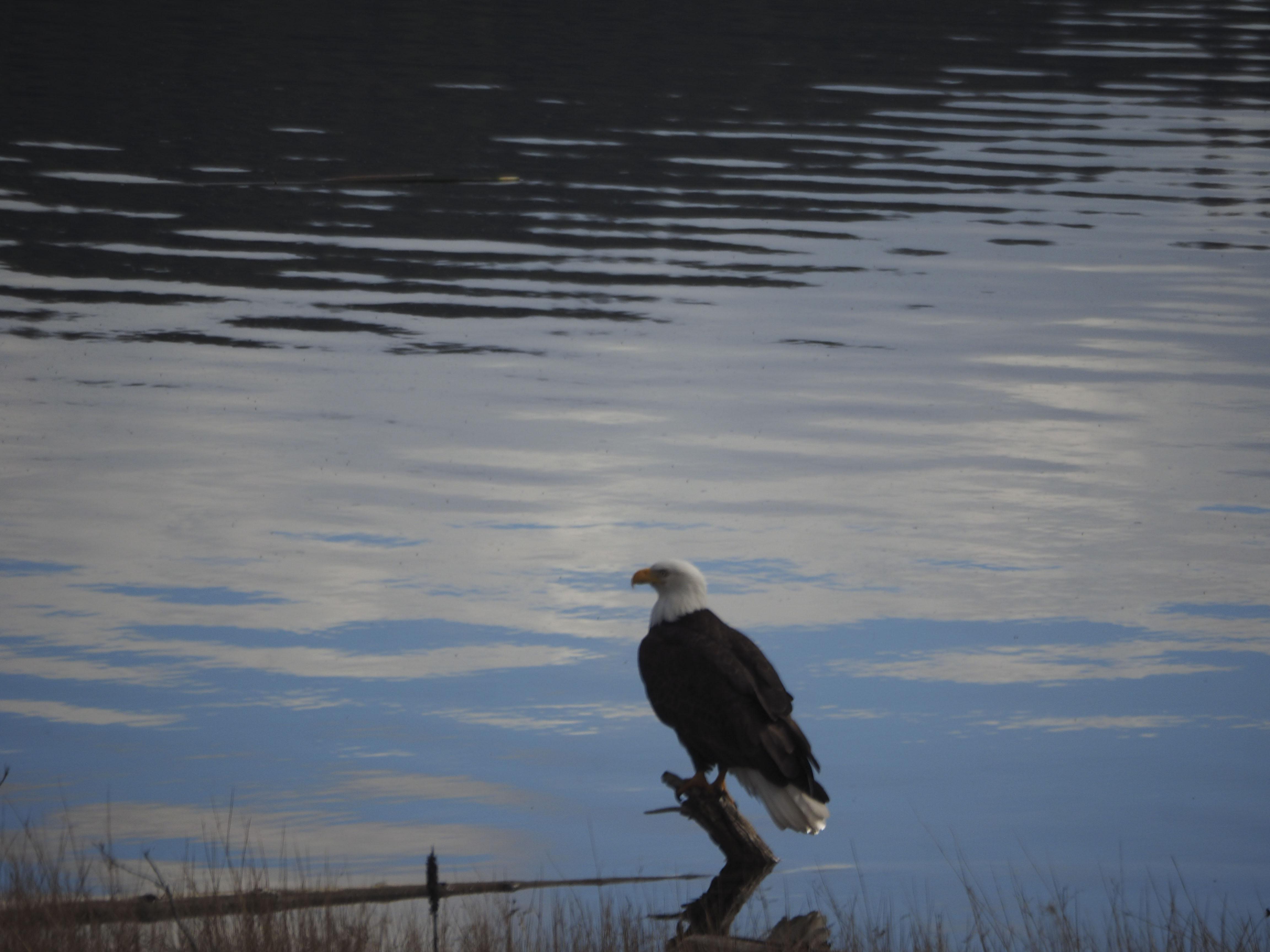 Bald Eagle Stump Lk -Kevin Haggkvist