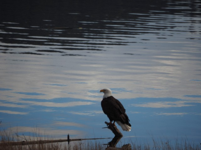 Bald Eagle Stump Lk -Kevin Haggkvist