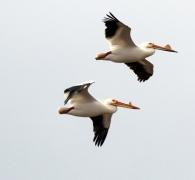 21 Bird in Flight - Doug Boyce