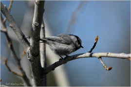 Chickadee ©Bill Melnychuk_DSC3881