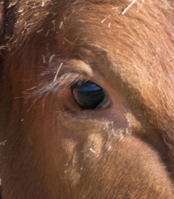 Cows Eye 02 - Doug Boyce