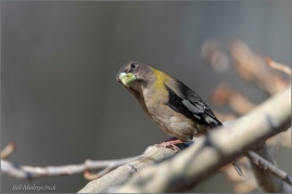 Evening Grosbeak ©Bill Melnychuk_DSC3905-076