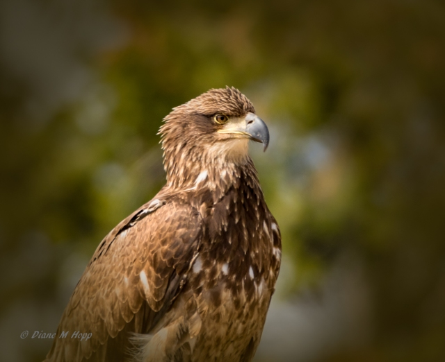 Immature Bald Eagle1 - Diane Hopp