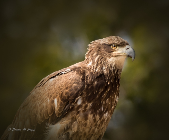 immature Bald Eagle2