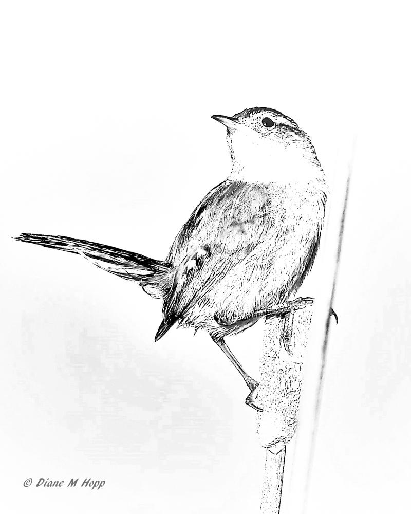 Marsh Wren - Sketch Effect - DMHopp