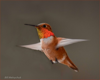 Rufous Hummingbird_DSC0247-037 ~ Bill Melnychuk