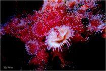 Tube Worm on Strawberry Anenomes- Gary Hardaker.jpg