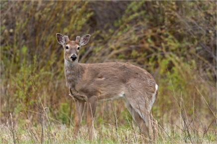 Whitetail - Bill Melnychuk _DSC0377-150