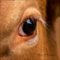 02 Cow's Eye - Gloria Melnychuk