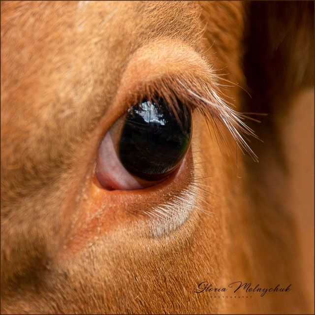 02 Cow's Eye - Gloria Melnychuk