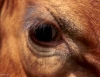 # 2 cows eye AnnMarie Brown
