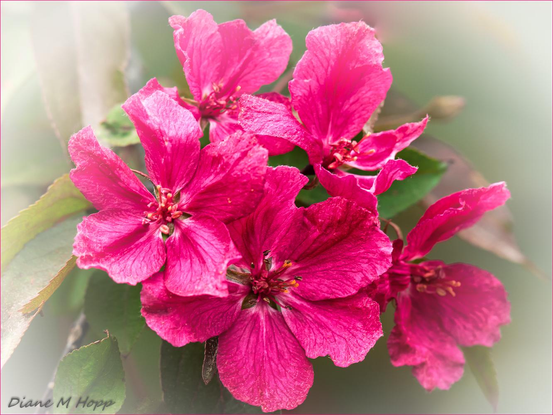 Cherry Blossoms - DMH
