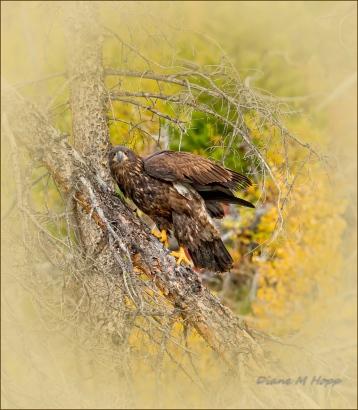 Immature Bald Eagle - DMHopp