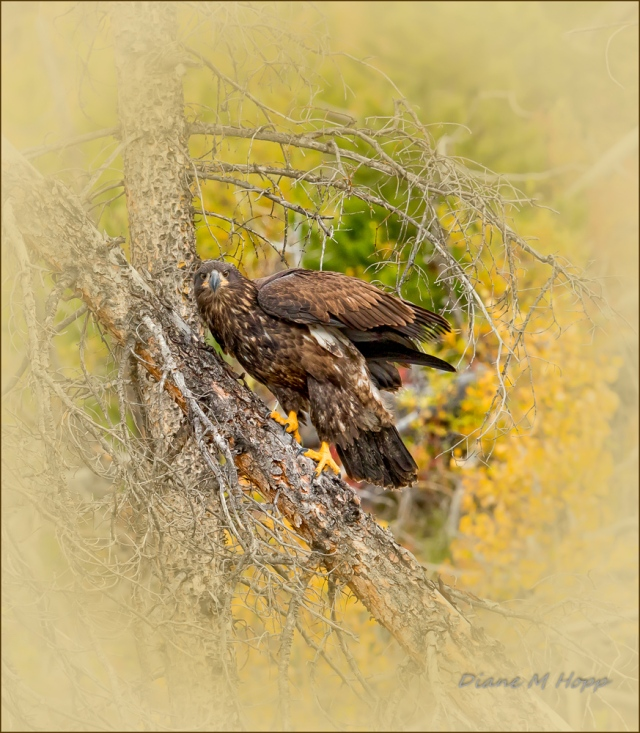 Immature Bald Eagle - DMHopp