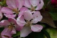 Macro Cherry Blossom- Gary Hardaker