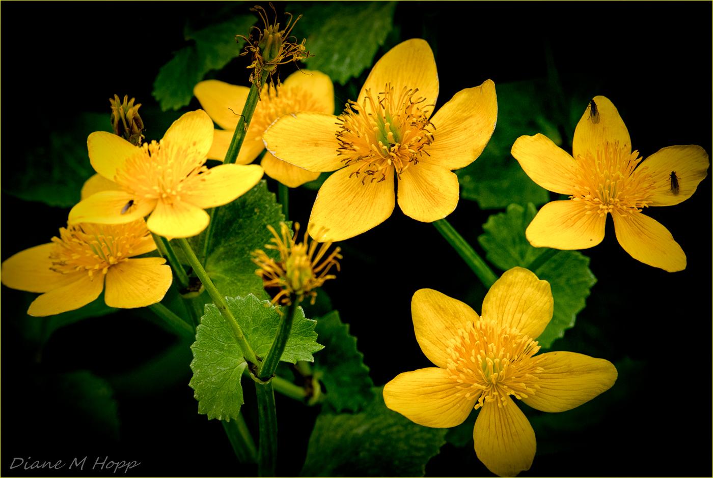 Marsh Marigolds - DMHopp
