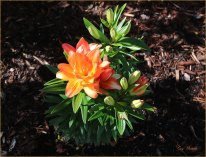 Orange Lily- Gary Hardaker