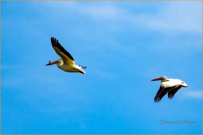 Scavenger Hunt #21 - Bird in Flight - White Pelicans - Diane Hopp