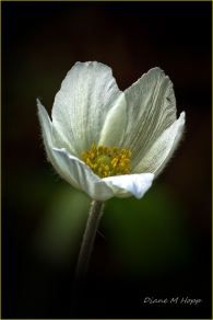 Scavenger Hunt #9 - Macro -Part of a Plant - Anemone