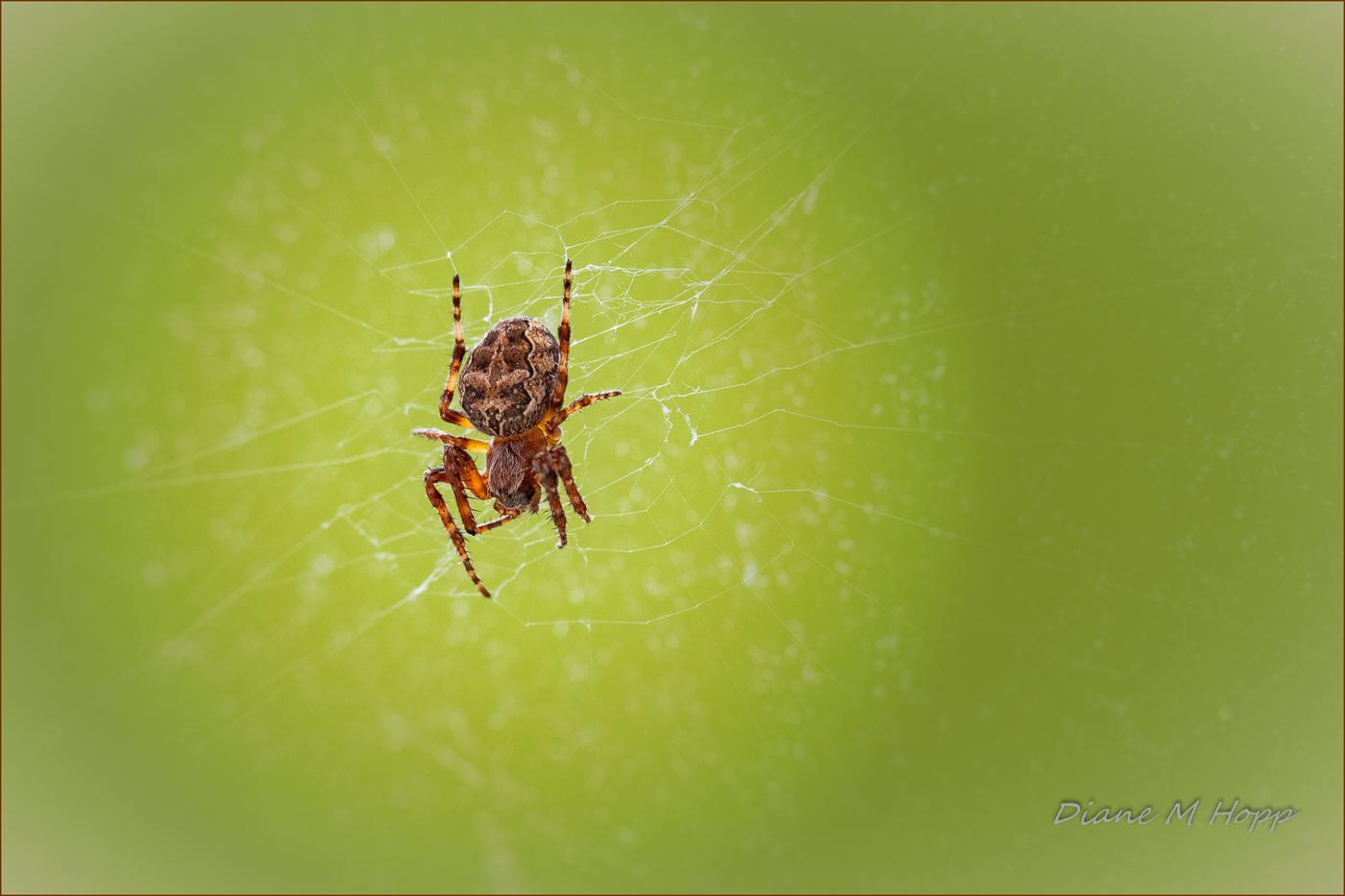 Spider on Glass - DMHopp
