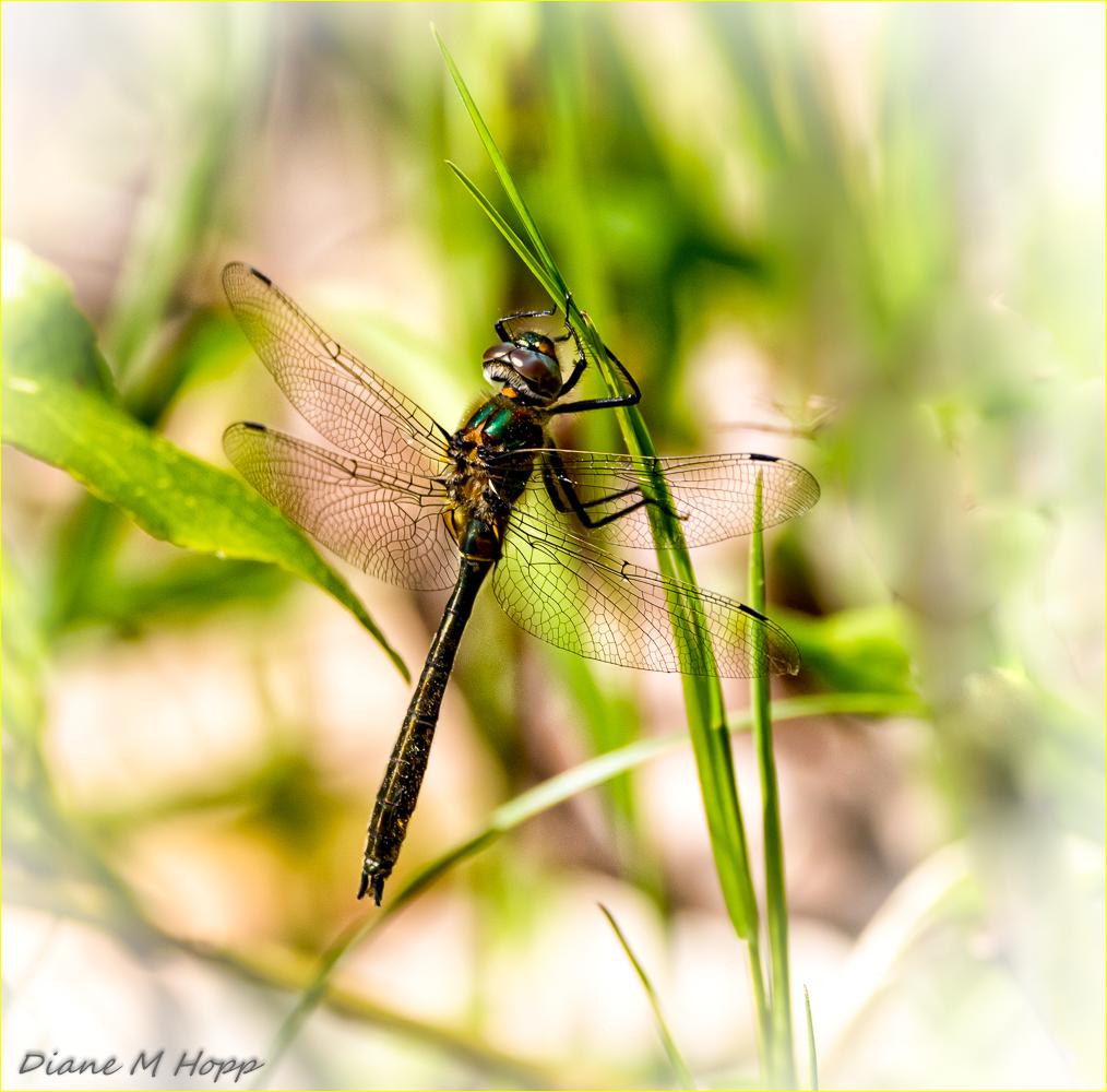 Dragonfly - DMHopp