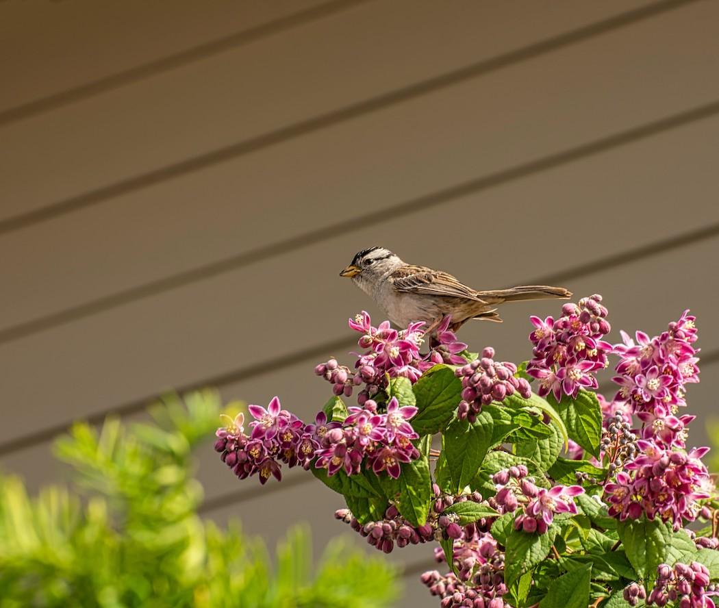 White Crowned Sparrow_CJJ