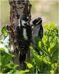 Woodpeckers-5170-212 - Bill Melnychuk
