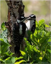 Woodpeckers-5177-226 - Bill Melnychuk