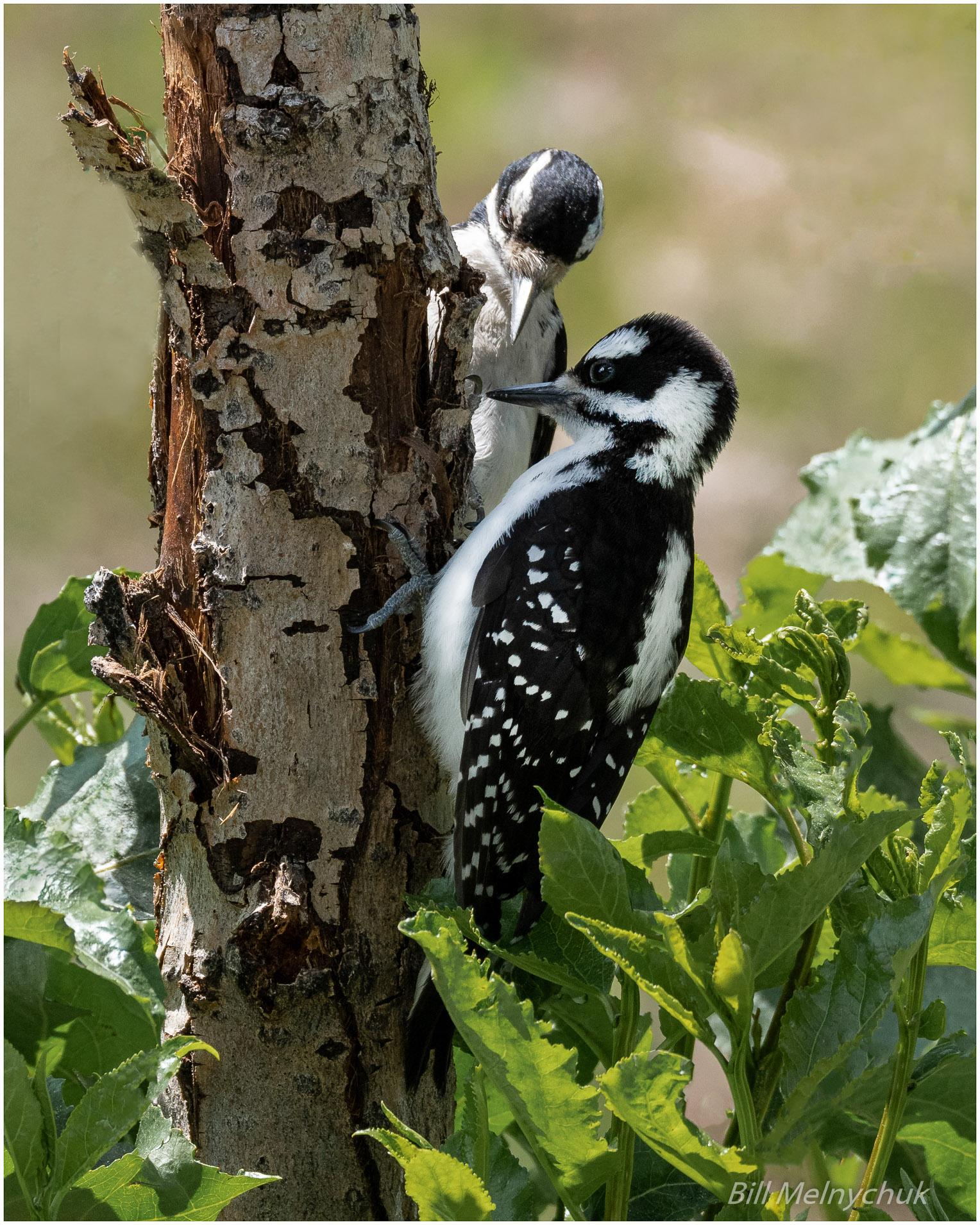 Woodpeckers-5182-236 - Bill Melnychuk