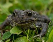 Closeup of Living Frog 2 - Gloria Melnychuk