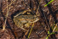 01 Closeup of living frog - Gloria Melnychuk