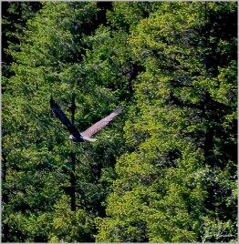 #21 Bird (Eagle) in Flight- Gary Hardaker