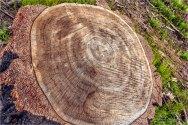 36 Tree rings over 100 yrs - Gloria Melnychuk