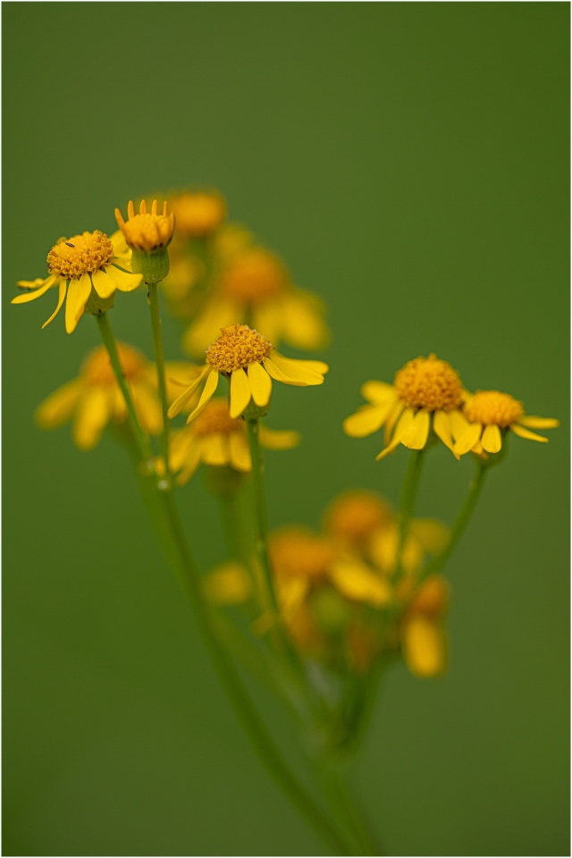 Arnica © Larry Citra