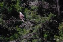 Bald Eagle at Missezula Lake 1- Gary Hardaker