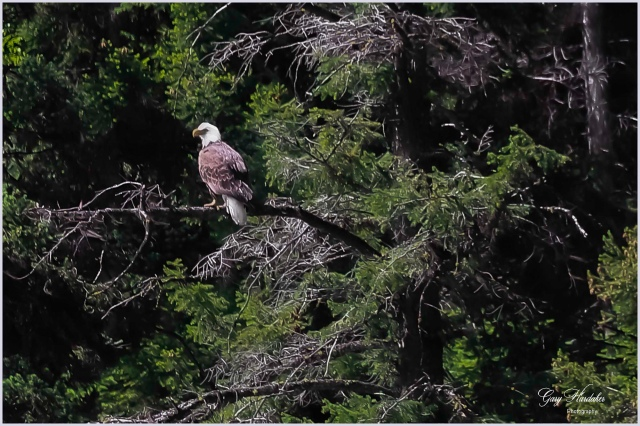 Bald Eagle at Missezula Lake 1- Gary Hardaker