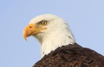 Bald Eagle Eyelid- Doug Boyce