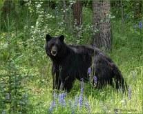 Black Bear_GMP5842-076 - Bill Melnychuk