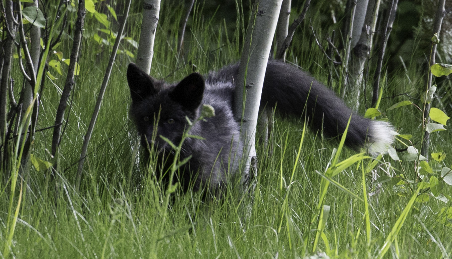 Black Fox - Nancy Cunnungham