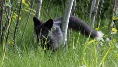 Black Fox - Nancy Cunnungham