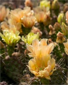 Cactus Blooms - Daryl Bell