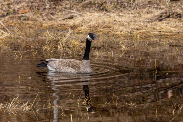 Canada Goose_DSC0105-044 - Gloria Melnychuk
