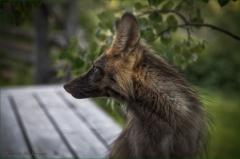 Evening Fox - DMHopp