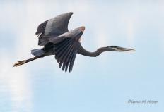 Great Blue Heron Flying - DMHopp