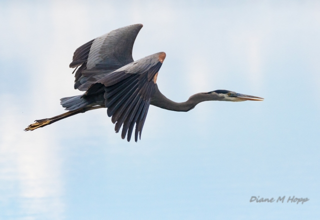 Great Blue Heron Flying - DMHopp