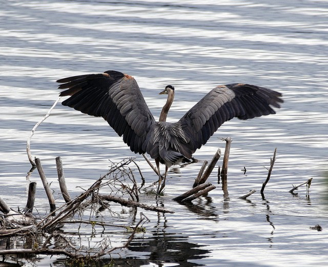 Great Blue Heron - Doug Boyce