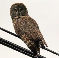 Great Grey Owl- Doug Boyce