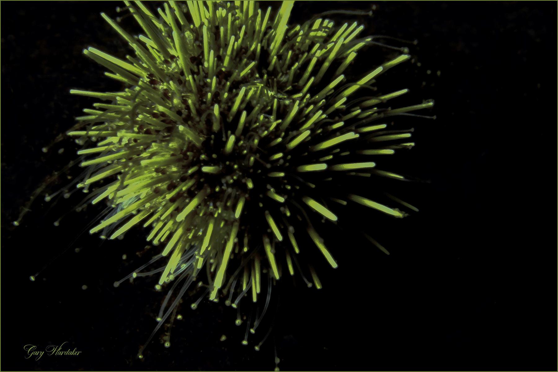 Green Sea Urchin- Gary Hardaker